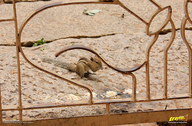 Indian palm squirrel, at world heritage site Hampi