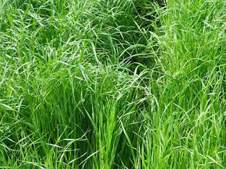 rumput-rye-untuk-kura-kura.jpg