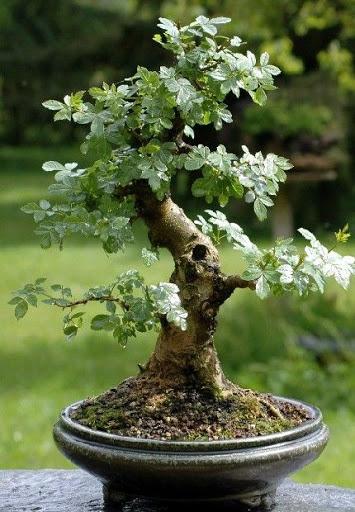 Hobby bonsai for Dove comprare bonsai