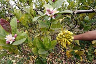 Dùng trà đài hoa mai và hoa phật thủ trị viêm họng hạt