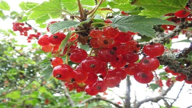 Svenska frukter och bär