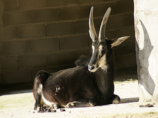 Hippotragus niger - Hippotrague noir