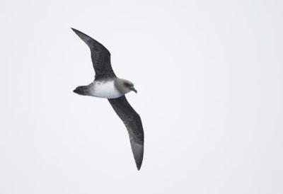 aves marinas Petrel cabeza parda Pterodroma incerta