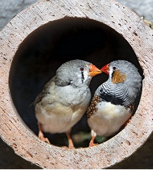 Dos pájaros besándose