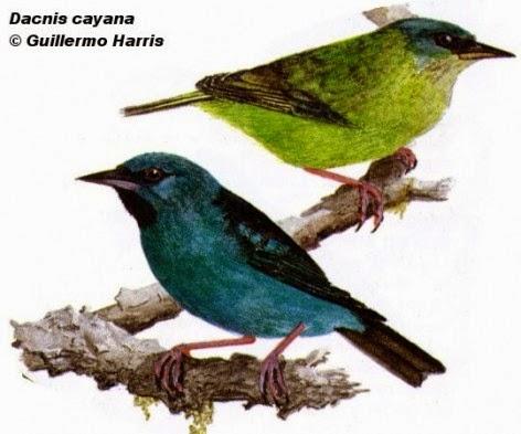 birds Blue Dacnis
