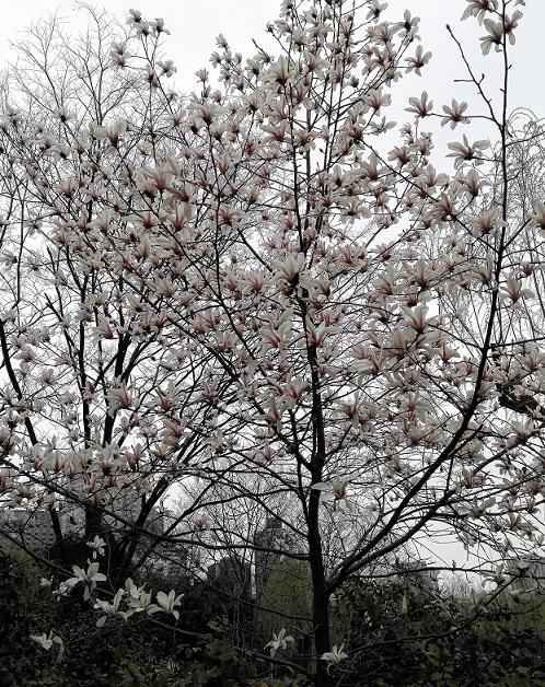 上海の公園に咲くコブシ
