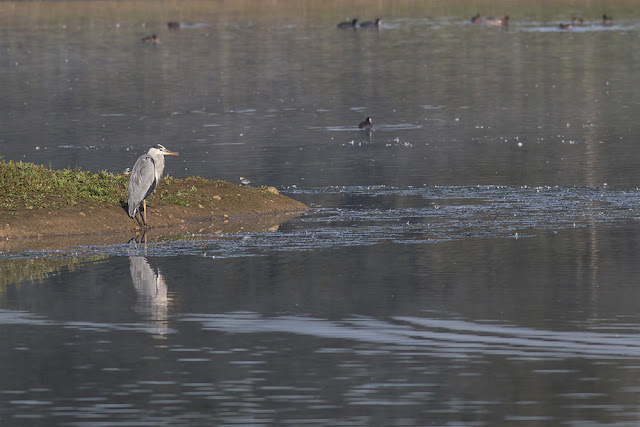 Grey Heron on Stilt Pits
