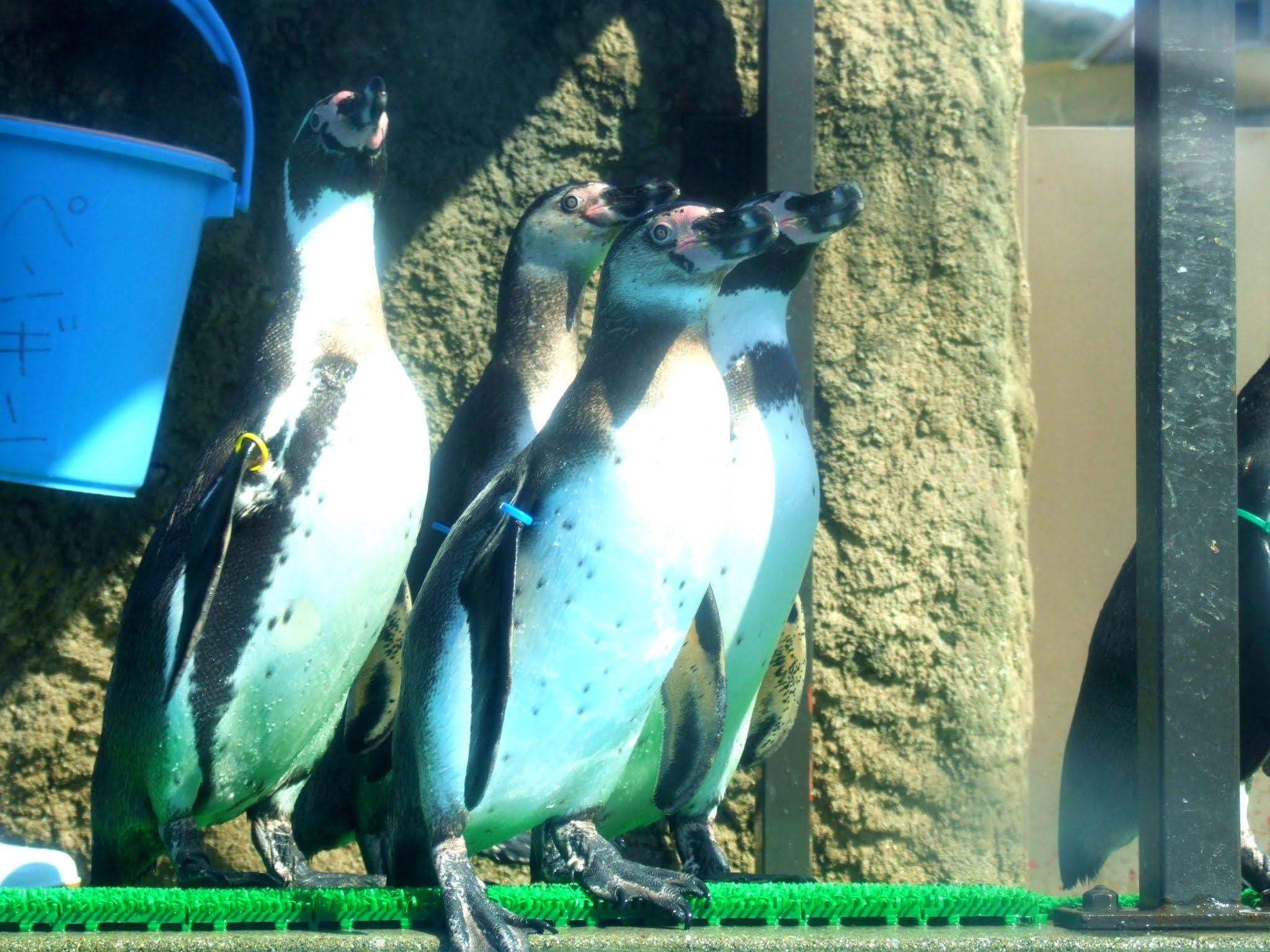 集団で一点を見つめるペンギンの写真素材です。ブログのアイキャッチなどにいかがでしょうか。