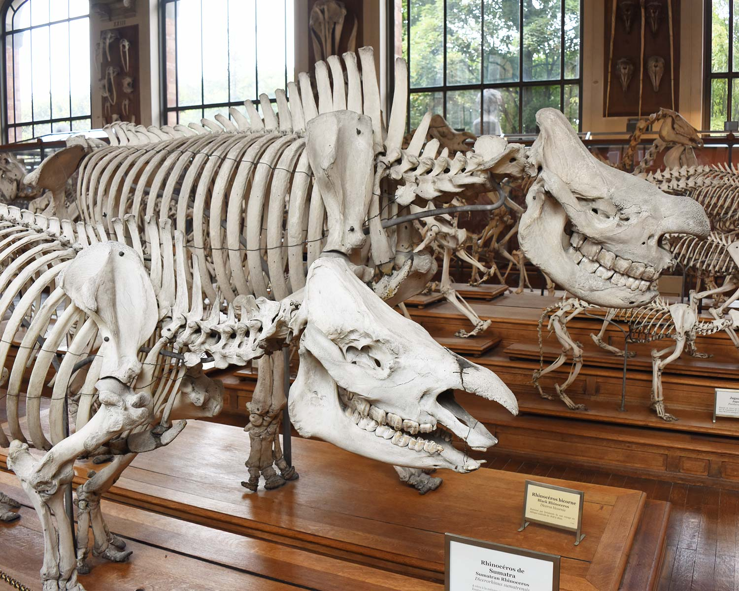 Rhinosaurus Skeleton at the Museum of Natural History Paris