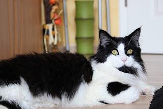 Kucing Maine Coon,jenis kucing
