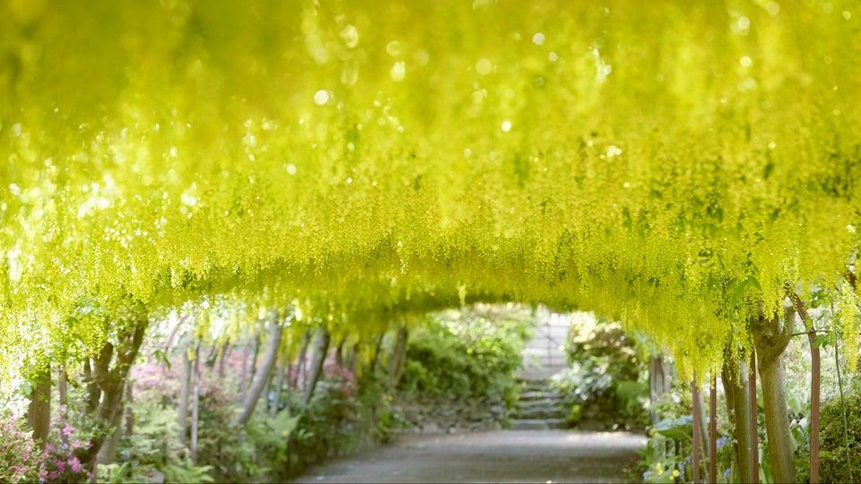 túnel de flores amarillas de laburno