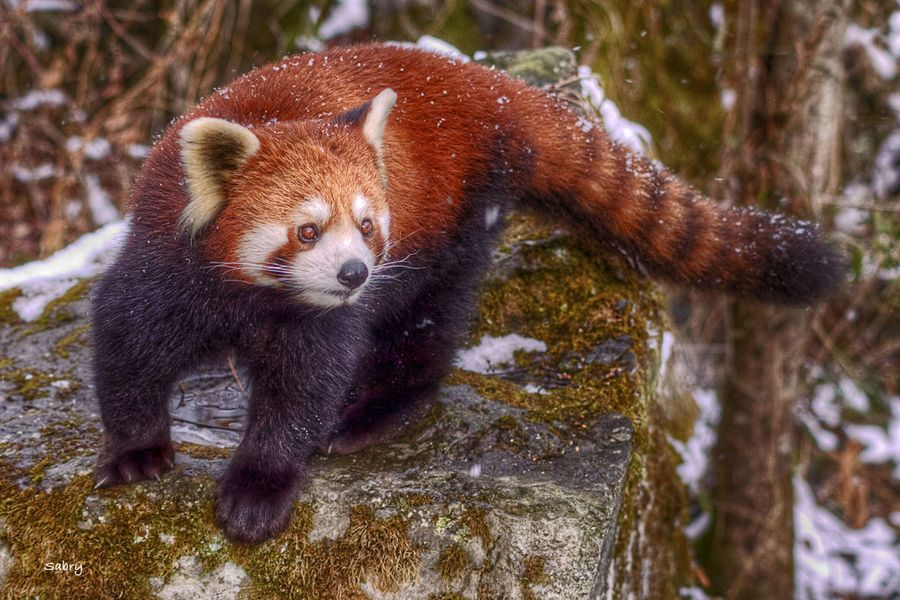 13. Red Panda by Sabry Mason