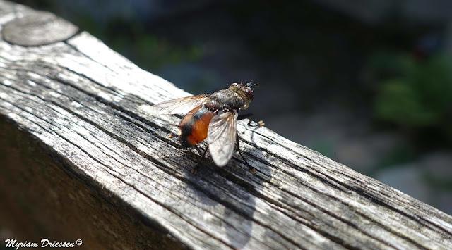 Tachina magnicornis fly