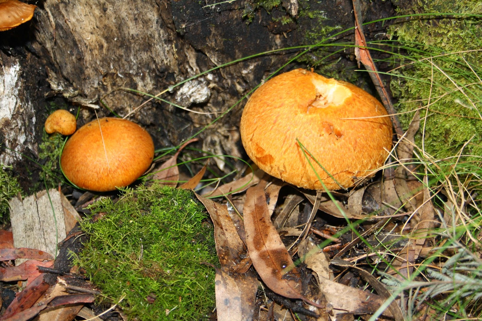 Sanotorium Lake, Mt Macedon fungi