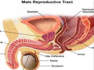 Nama Obat Herbal Pembesaran Prostat Jinak Tanpa Operasi