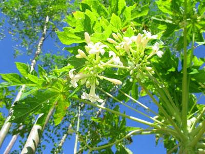 10 Khasiat Bunga Pepaya Untuk Kesehatan Tubuh