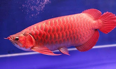 Gambar Ikan arwana super gold