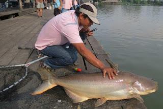 Umpan-Ikan-Patin-Kolam