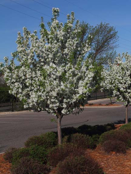 Flowering Trees Are Blooming
