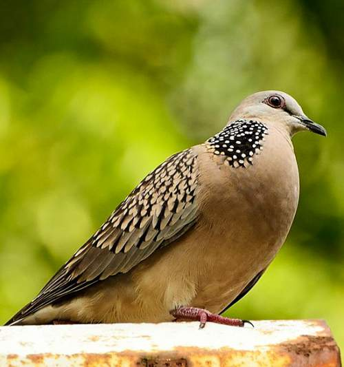 Indian birds - Picture of Eastern spotted dove - Spilopelia chinensis
