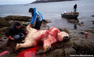 Caça de ursos polares, urso polar, greenpeace, Captain Paul Watson, Paul Watson, caça, greenpeace brasil, ursos,