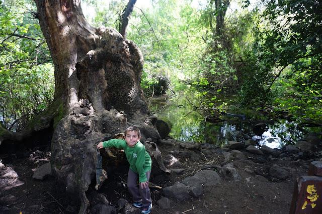 עץ פו הדוב בשמורת תל דן