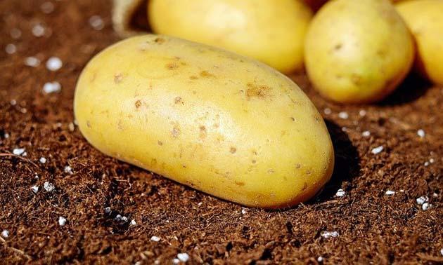 Batatas (Solanum tuberosum L.)