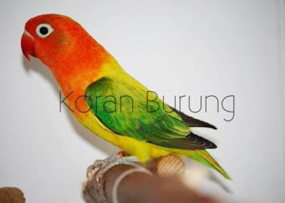 Burung Lovebird hingga hingga detik ini sangat diburu para Kicau Mania Cara Memilih, Merawat, Dan Kendala Lovebird Kekek-an Dari Paud Sampai Kontesan