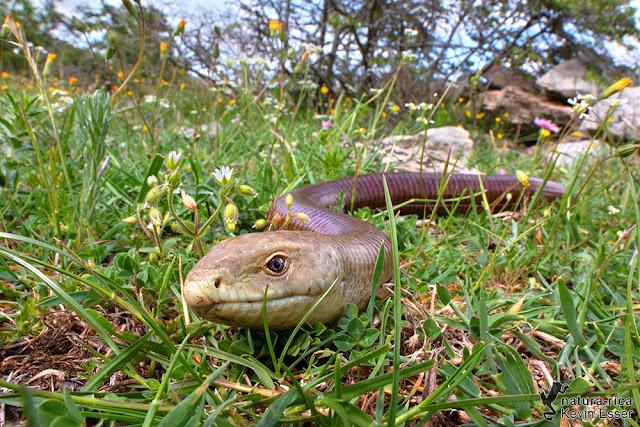 Pseudopus apodus - European Legless Lizard
