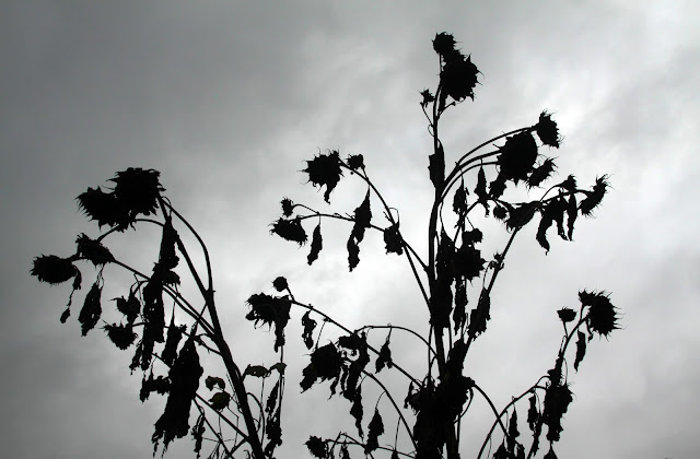 autumn, sunflowers, sunflower seed heads, cloudy sky, Anne Butera, My Giant Strawberry