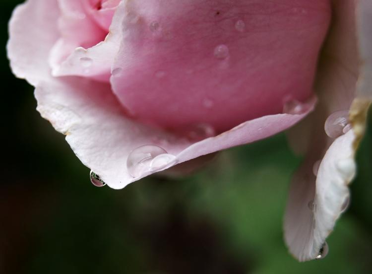 Blog & Fotografie by it's me! - Makroaufnahmen - Makroserie einer rosafarbenen Rose mit Regentropfen [2]