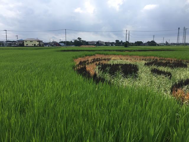 こしがや田んぼアート2015食戟のソーマ(8/16)