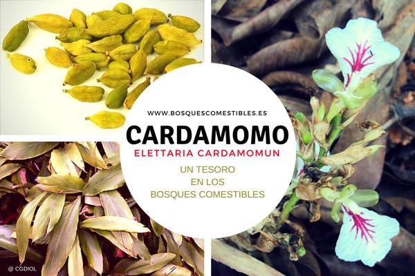 Cardamomo, Elettaria cardamomun, planta comestible y medicinal nativa de la India, donde crece en selva hasta 1500 metros