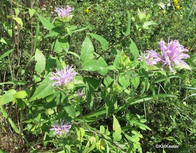 Monarda fistulosa, wild bergamot