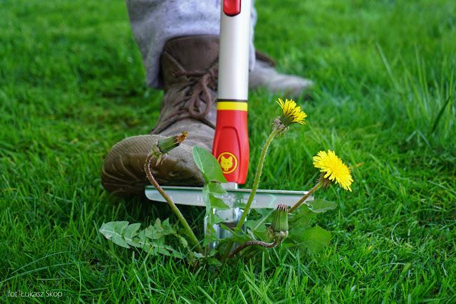 chwasty na trawniku