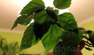 Čínska ruža - listom v zime ubúda chlorofyl, žilky sú tmavšie