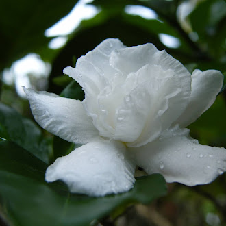 White Lily Flower (Gardenia)