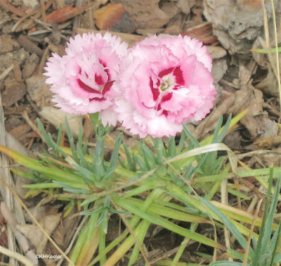 pinks, Dianthus species