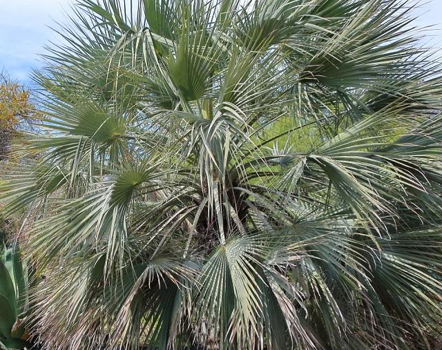palma o palmera azul mexicana, de México, de Guadalupe, palma gris Brahea armata