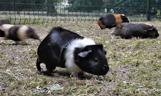 Four different coloured guinea pigs in an outdoor run