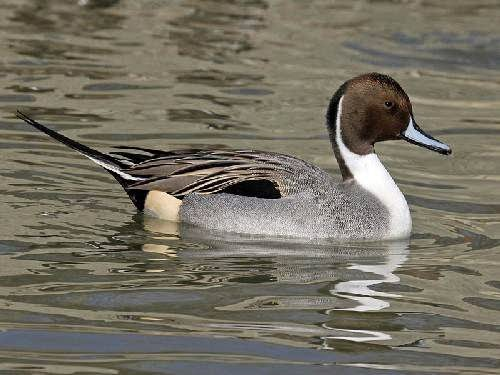 Indian birds - Northern pintail - Anas acuta
