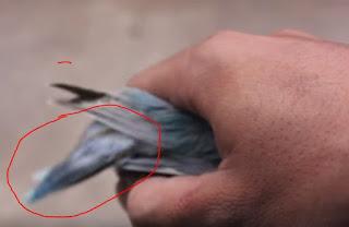 ciri-ciri lovebird paud fighter
