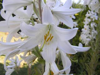 Azucenas blancas 5