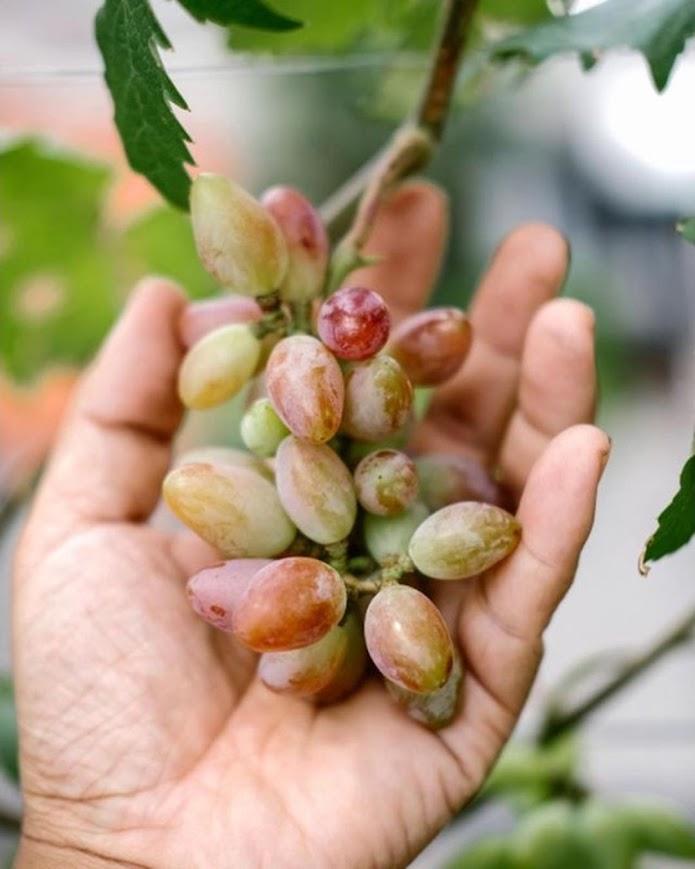 Bibit tanaman anggur baikonur VALID Kotamobagu