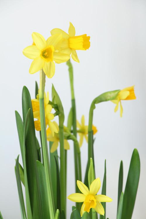 Frühling Ostern Narzissen Ostergeschenk Osternest Annette Diepolder