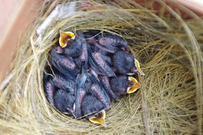 daftar harga burung murai batu anakan update terbaru