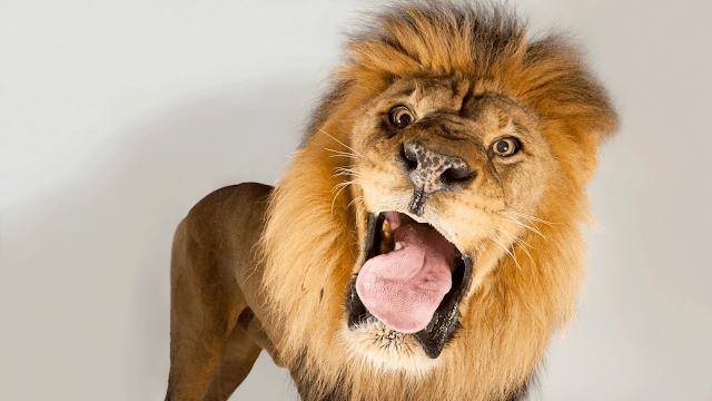 personaliti seekor singa