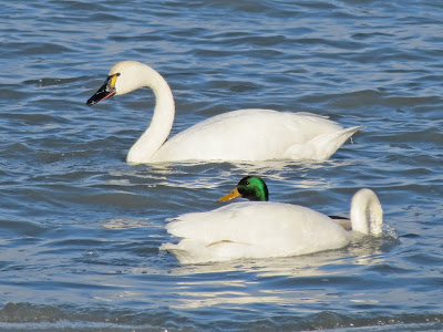 Tundra Swan - Marysville, Wolfe Island, ON - lots of yellow
