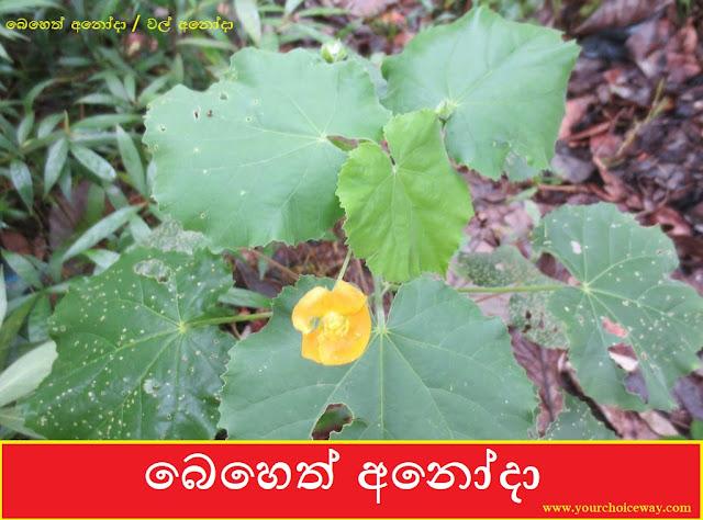 බෙහෙත් අනෝදා [Beheth Anoda] (Abutilon indicum) - Your Choice Way
