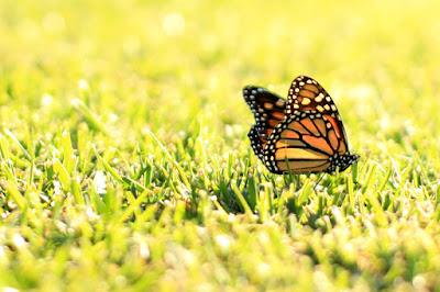 Monarch Butterfly - Nature Photography by Mademoiselle Mermaid